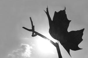 Maple Leaf (Again)