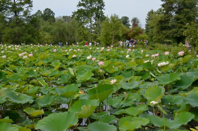 Lotus garden in Maryland