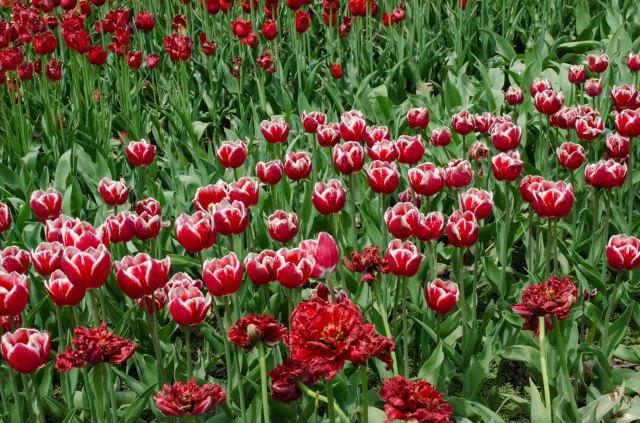 Tulips at MN Arboretum