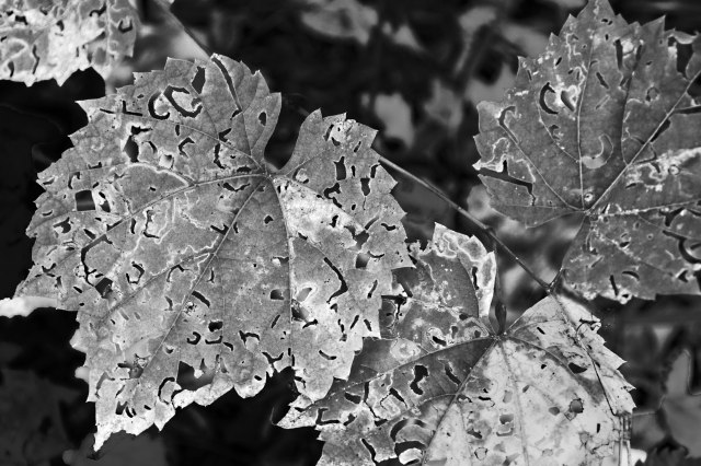 Broken Leaves