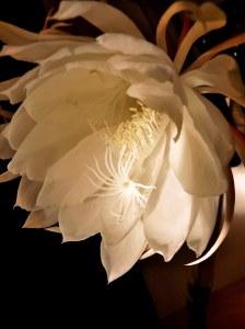 Epiphyllum oxypetalum (曇花)